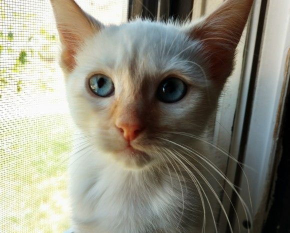 ***ADOPTED***  TARN – DSH Flame Point Siamese – Female – 8 mos.