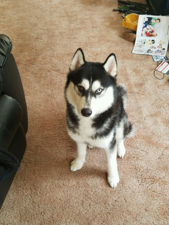 ***ADOPTED***  DRAKO – Siberian Husky – Male – 2 Y