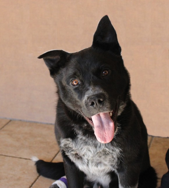 ***ADOPTION PENDING***   ELI – Blue Heeler X – Male – 1 Y