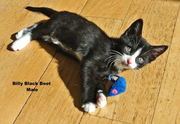***ADOPTED***   BILLY BLACK BOOT – DSH Tuxedo – Male – 10 wks