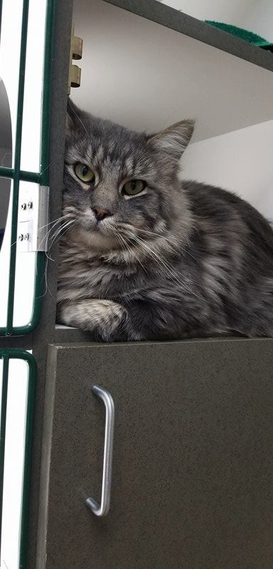 ***ADOPTED***   CAPONE – DMH Maine Coon X – Male – 1-1/2Y