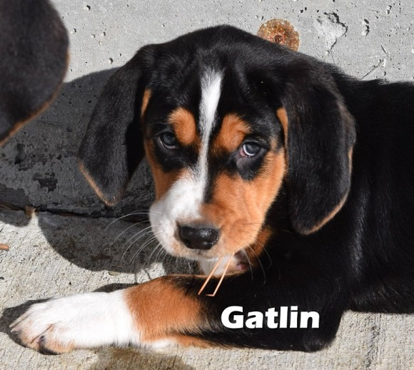 ***ADOPTED***  GATLIN – Treeing Walker Coonhound – Male –  10 weeks