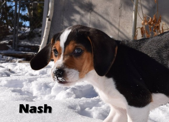 ***ADOPTED!!***   NASH – Treeing Walker Coonhound – Male – 9 weeks