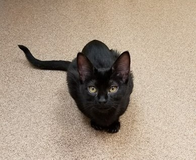 LUCY – DSH Black – Female – 5 Mos