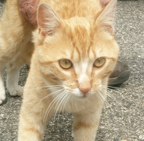 ***ADOPTED***  REX – DSH Orange Tabby – Male – 10 mos.