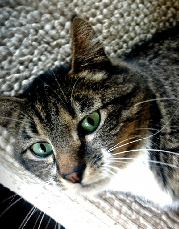 BEEJAY – DSH Bi-Colored Tabby – Male – 5 Y