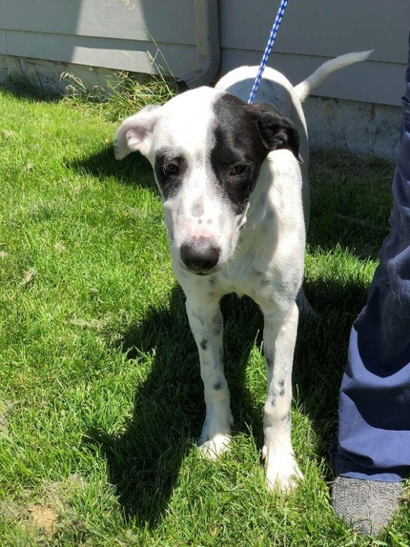 SNOOPY – Great Dane/Pointer X (?) – Male – 6 mos.