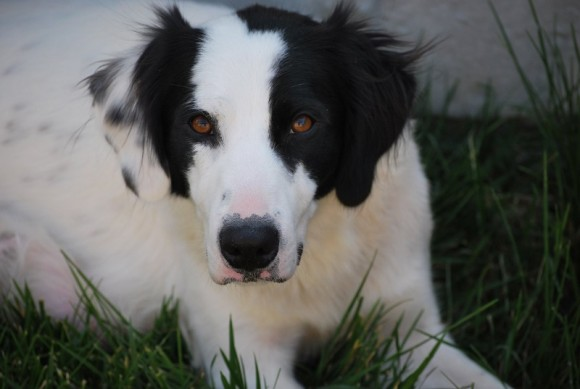 ***ADOPTED***   LUNA – English Setter/Border Collie X – Female – 2 Y