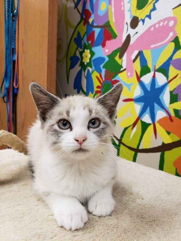 ***ADOPTION PENDING!***   GARFUNKEL – Lynx Point Siamese – Male – 9 weeks