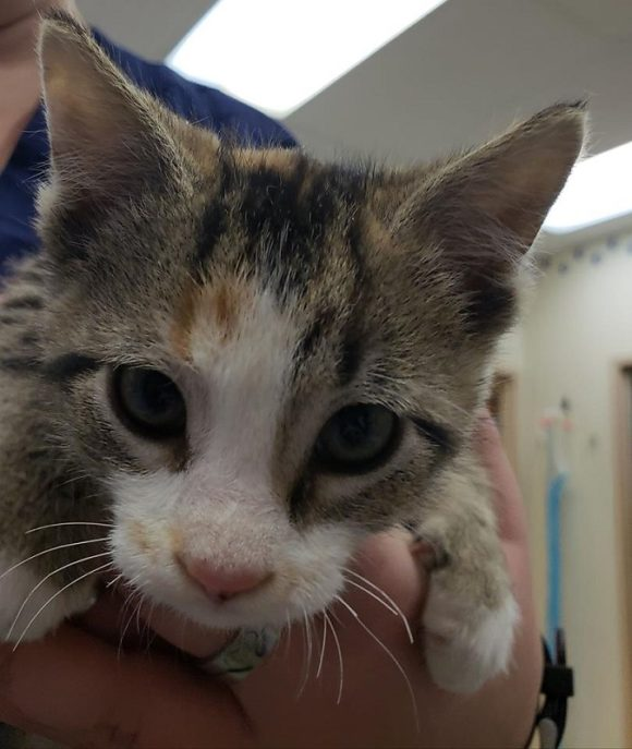 LOUISE – DSH Torbie – Female – 9 weeks