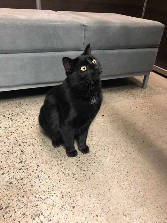 ***ADOPTED!***  MIDNIGHT – Black DSH – Male – 3-1/2 Y – **DECLAWED**