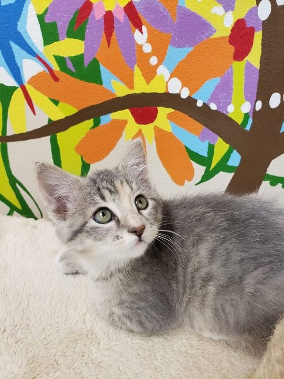 THELMA – DSH Torbie – Female – 9 Weeks