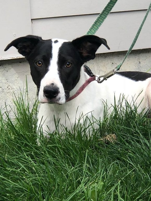 ***ADOPTION PENDING!***  MAGGIE – Border Collie X – Female – 1-1/2 Y