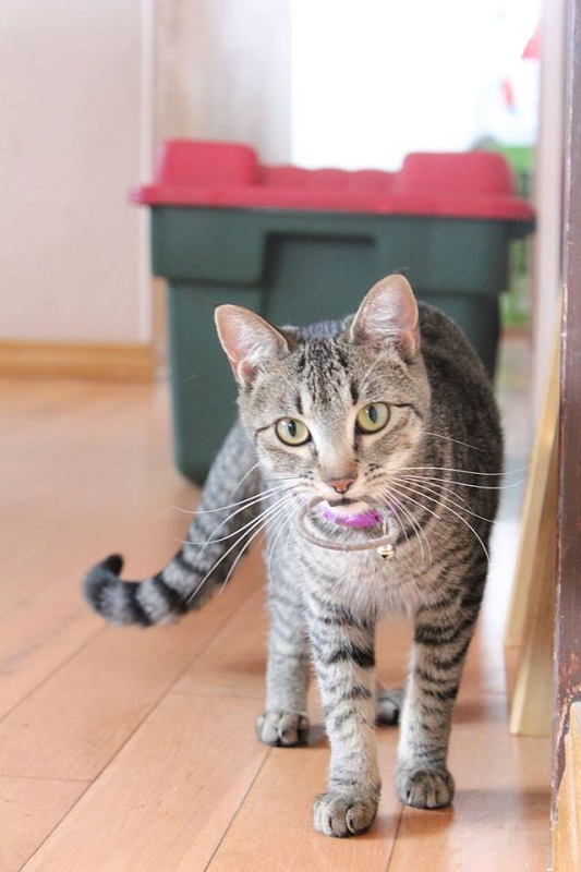 ***ADOPTED!***   PEPPER – DSH Brown Tabby – Female – 1-1/2 Y