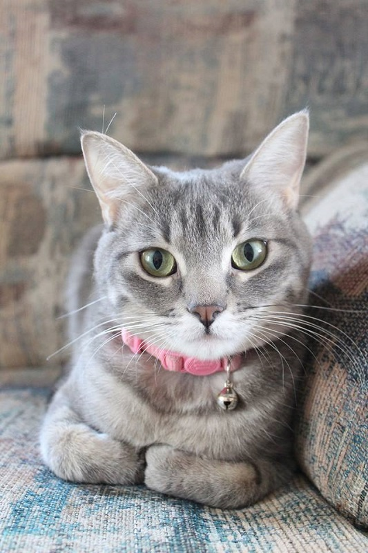 ***ADOPTED!***  PIPER – DSH Blue Tabby – Female – 1-1/2 Y