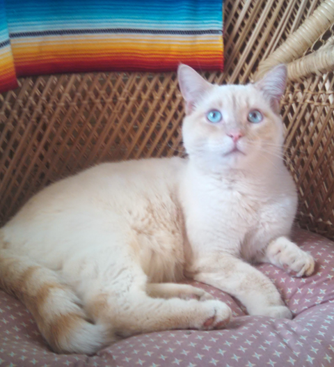 SUGAR – DSH Flame Point Siamese – Male – 5 Y