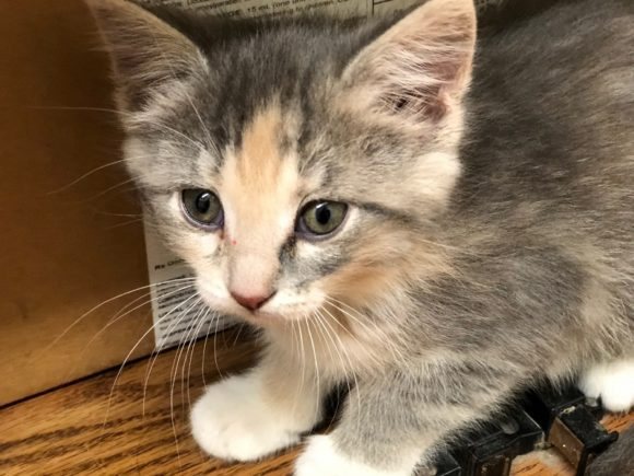 BETTE – DSH Dilute Tortie – Female – 12 Weeks