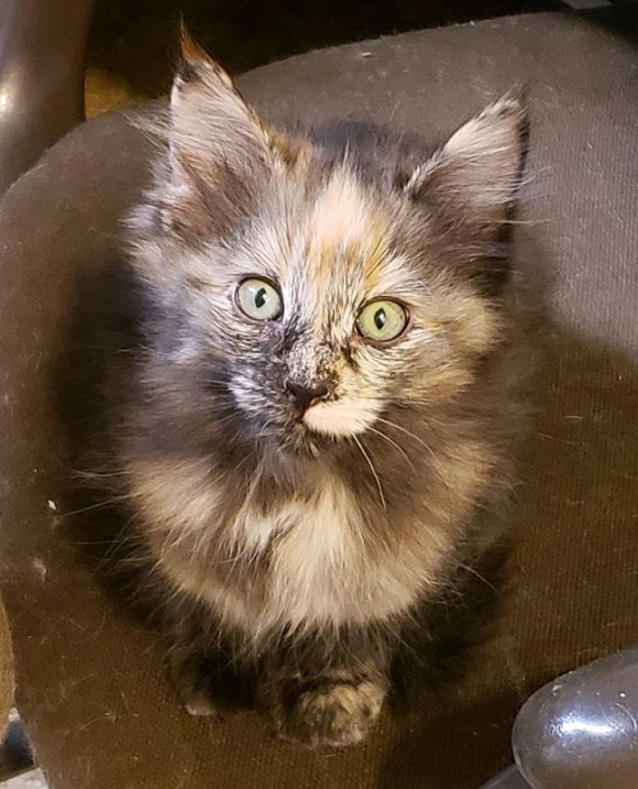 CAROL – DLH Tortie – Female – 12 Weeks