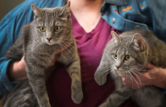 BETTIE & LILAH – DSH Grey Tabbies – Females – 1 Y