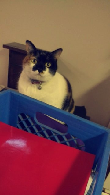 HALLOWEEN (Hallie) – DSH Calico – Female – 7 Y
