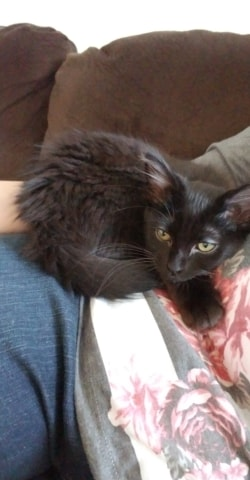 ***ADOPTED!***  SASHIMI – DMH Black – Female – 7 mos.