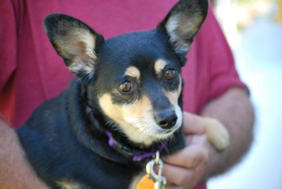***ADOPTED***   SPARKLES – Chiweenie (Doxie/Chihuahua X) – Female – 4-1/2 Y