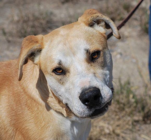 RIVER – Labrador Retriever/Pitbull X – Male – 2 Y