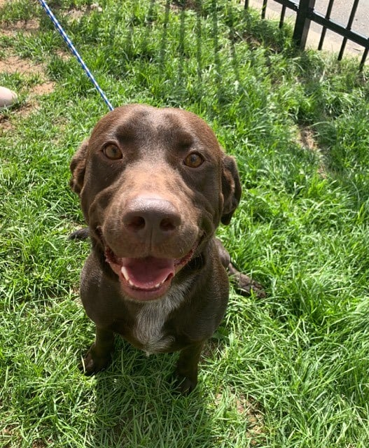 ***ADOPTION PENDING***  PORTER – Chocolate Lab X – Male – 1 Y