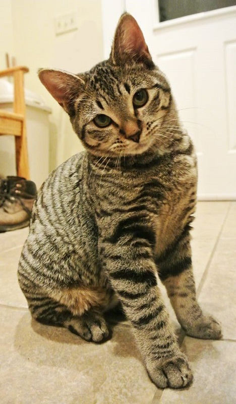 ***ADOPTED!***   STORMY – DSH Gray Tabby – Female – 5 mos.