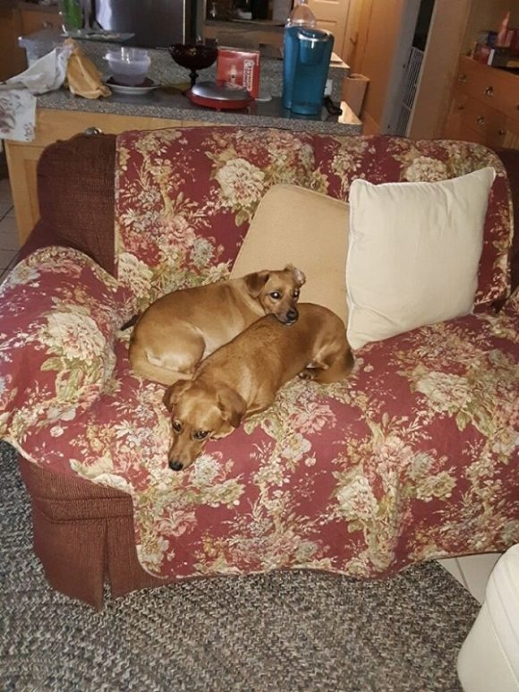 SURI & DADA – Dachshund/Terrier X – Sister & Brother – 2-1/2 Y