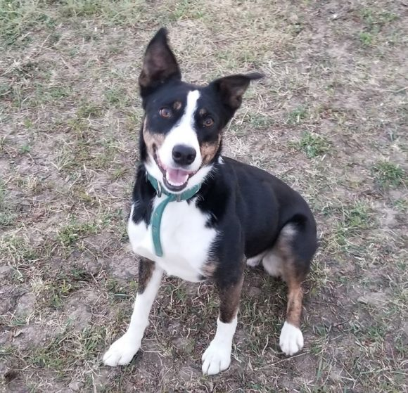 SCHATZI – McNab Stock Dog – Female – 4-1/2 Y