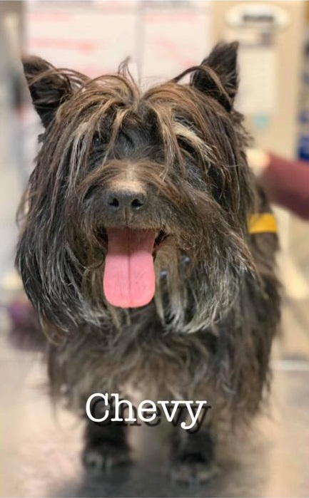 CHEVY – Cairn Terrier – Female – 5 Y