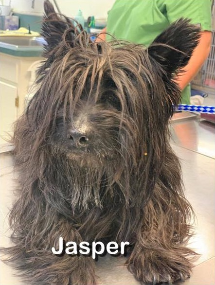 ***ADOPTED!***  JASPER – Cairn Terrier – Male – 5 Y