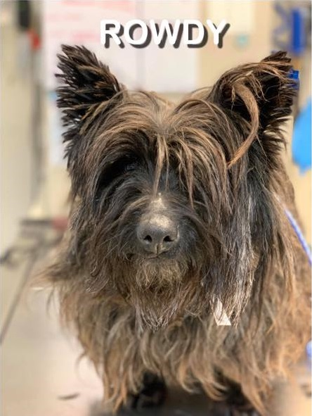 ROWDY – Cairn Terrier – Male – 5 Y
