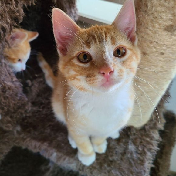 CHEETO – DSH Orange Tabby – Male – 14 Weeks