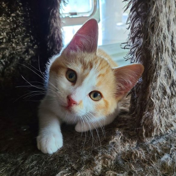 ICE CREAM – DSH Orange/White Tabby – Male – 14 Weeks