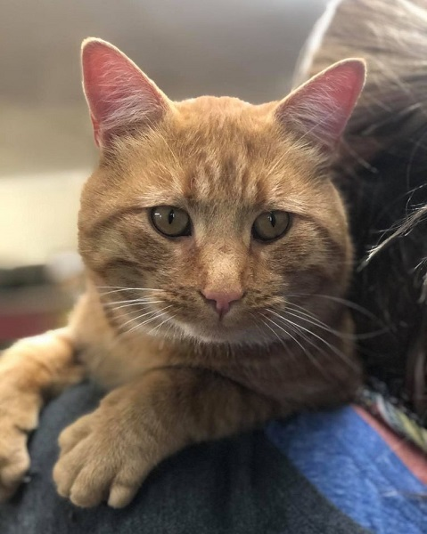 ***ADOPTED!***  NACHO – DSH Orange Tabby – Male – 3 Y