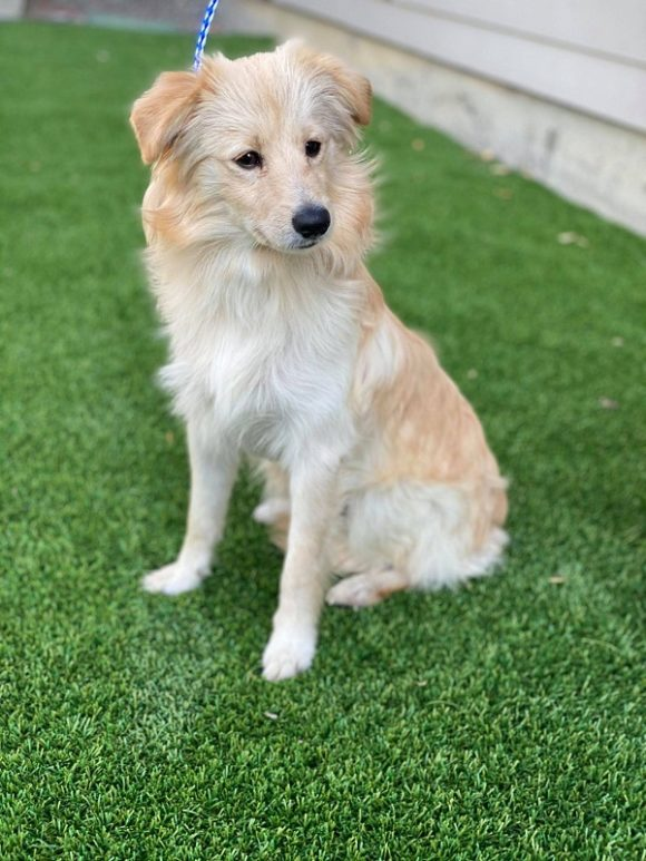 ***ADOPTED!***   BUTTERBALL – Pomeranian/Chihuahua X – Male – 1 Y