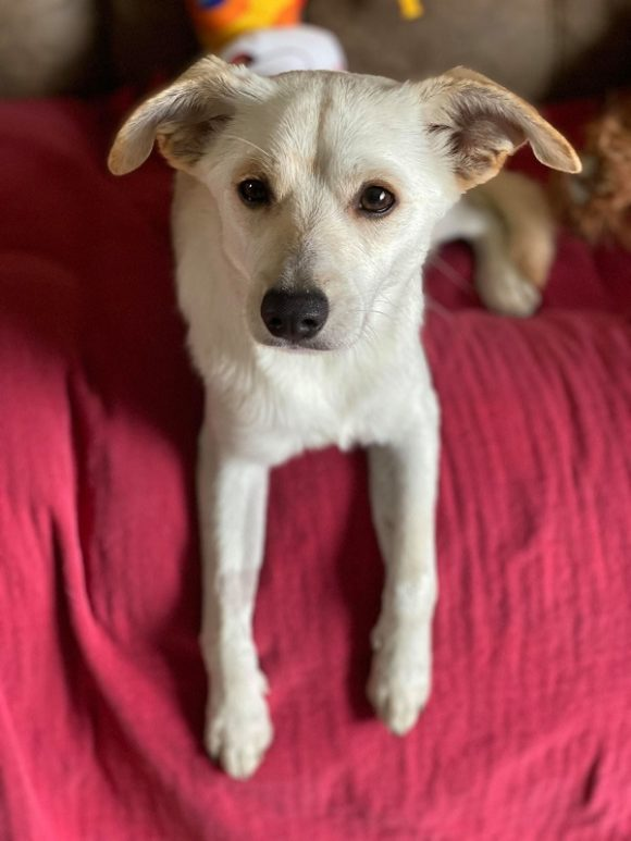 ***ADOPTED!***  MARLEY – Pomeranian/Chihuahua X – Male – 1 Y