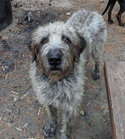 ***ADOPTED!***   CRUZ – Great Pyrenees/German Wirehaired Pointer – Male – 2-1/2 Y