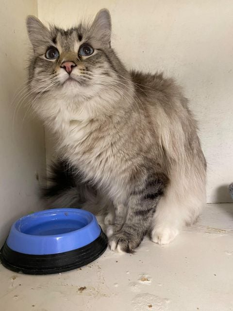***ADOPTED!***  CHARLES WINSTON – Lynx Point Ragdoll – Male – 10 Y (Declawed)