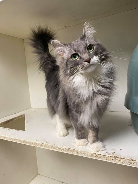 ***ADOPTED!***  HAZEL – DMH Grey/White – Female – 3-1/2 Y (Declawed)