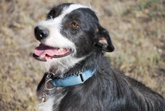***ADOPTED!*** TANGO – Border Collie/Wirehair Terrier X – Female – 1-1/2 Y